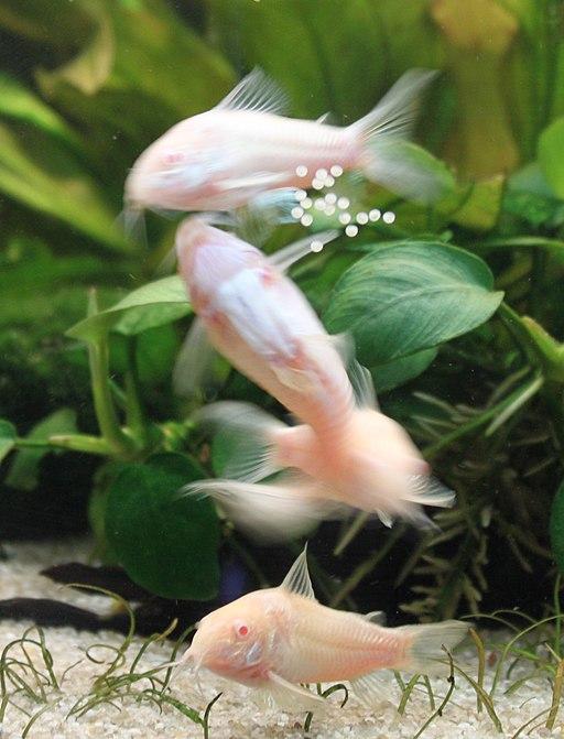 Albino Cory Spawning