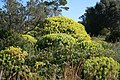 Alcúdia - Cami de Manresa - Euphorbia dendroides 07 ies.jpg