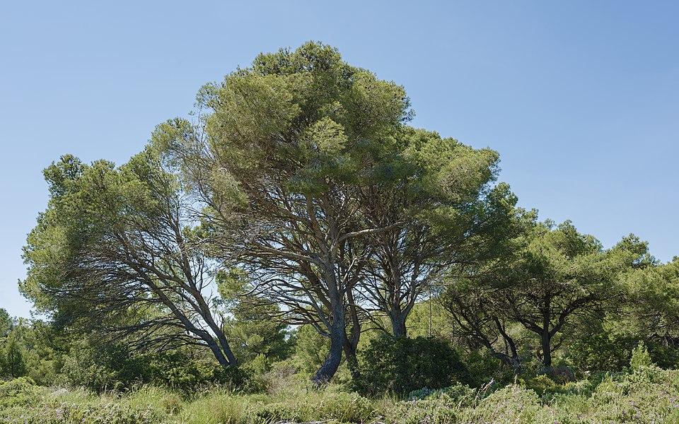 A grove of Aleppo Pines (Pinus halepensis). Sainte Lucie regional nature reserve. Port-la-Nouvelle, Aude, France. Narbonnaise en Méditerranée Regional Natural Park.