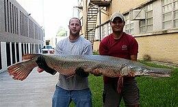 Alligator Gar 6 Feet 129 lbs Brazos River 8 Nov 04a