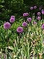 Allium hollandicum Purple Sensation Czosnek 2015-05-17 03.jpg