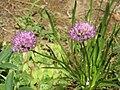 Allium lusitanicum.jpg