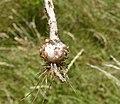 Allium scorodoprasum plant (04).jpg