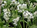 Allium ursinum, deutsch Bärlauch.jpg