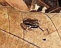 Allobates talamancae02.jpg