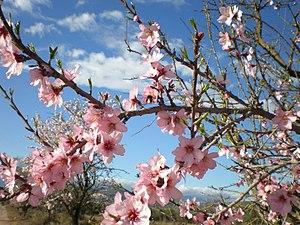 Almendros en flor! (Sierra de Montsiá), Ulldecona, España.jpg