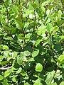 Alnus viridis01.jpg