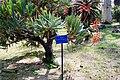 Aloe plicatilis Orto botanico Palermo 0014.JPG