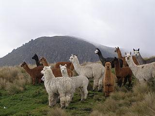 Elevage de Lamas, la Montagne Bleue dans LAMA