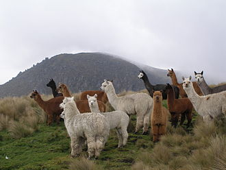Alpaca - Alpacas near a mountain in Ecuador