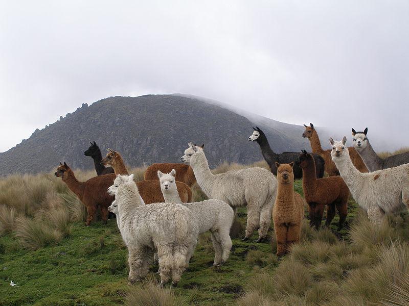 File:Alpacas.JPG