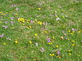 Alpine meadow with Colchicum montanum and Lotus alpinus.jpg