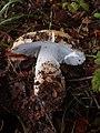 Amanita gemmata 12946107.jpg