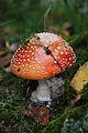 Amanita muscaria Smohor-SLO 1.jpg