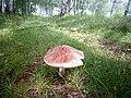 Amanita rubescens gljiva 1 (2).jpg