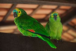 Amazona aestiva -Chapada Imperial, Brazilian Federal District, Brazil-8a.jpg