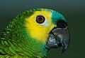Amazona aestiva -pet in Argentina-8c.jpg
