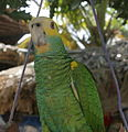 Amazona barbadensis -pet-upper body-4-3c.jpg