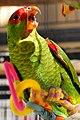 Amazona pretrei -bird cage-8b.jpg