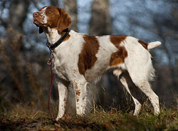 American Brittany standing.jpg