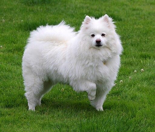 American Eskimo Dog 1