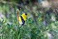 American Goldfinch (male) Eagle Rock Lake Red River Canyon NM 2019-07-09 08-56-34 (48248649816).jpg