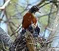 American Robin with three nestlings, Point Pelee National Park, Leamington, ON.jpg