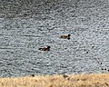 American Widgeon 3.16.2008.jpg