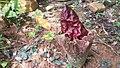 Amorphophallus Paeoniifolius d.jpg