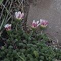 Anacyclus pyrethrum depressus closed.jpg