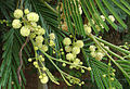 Anadenanthera colubrina (8634347115).jpg
