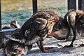 Anas platyrhynchos (Küken) - Utoquai 2011-05-19 18-18-52.JPG