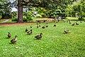 Anas platyrhynchos in Gisborne Botanical Gardens 01.jpg