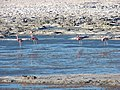 Andean Flamingos in the Salar de Pedernales.jpg
