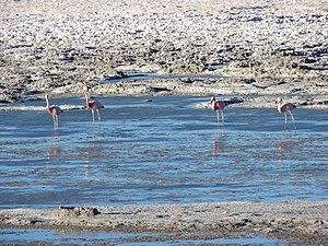 Andean flamingo - Image: Andean Flamingos in the Salar de Pedernales