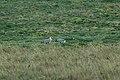 Andean Ibis 2015-06-03 (9) (38500546890).jpg