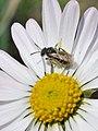 Andrena tiaretta female 1.jpg