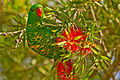 AndrewMercerIMG 9709 Scaly breasted lorikeet.jpg