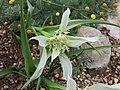 Androcymbium melanthioides -倫敦植物園 Kew Gardens, London- (9222655440).jpg