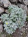 Andryala pinnatifida kz3.jpg