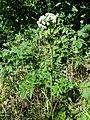 Angelica sylvestris subsp. sylvestris sl11.jpg
