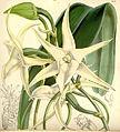 Angraecum sesquipedale - Curtis' 85 (Ser. 3 no. 15) pl. 5113 (1859).jpg