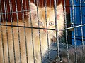 Animal Market Yogya Java348.jpg