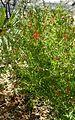 Anisacanthus quadrifidus kz2.jpg