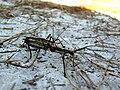Anisomorpha-male-female.jpg