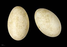 Two eggs, both white with slight brown stains