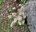 Antennaria rosea ssp pulvinata -比利時 Ghent University Botanical Garden, Belgium- (9261992920).jpg
