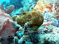 Antennarius pictus.JPG