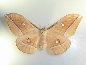Antheraea - Antheraea godmani specimen