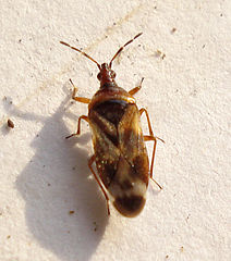Anthocoris limbatus